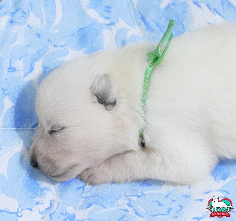 cucciolata G: 2 settimane 04