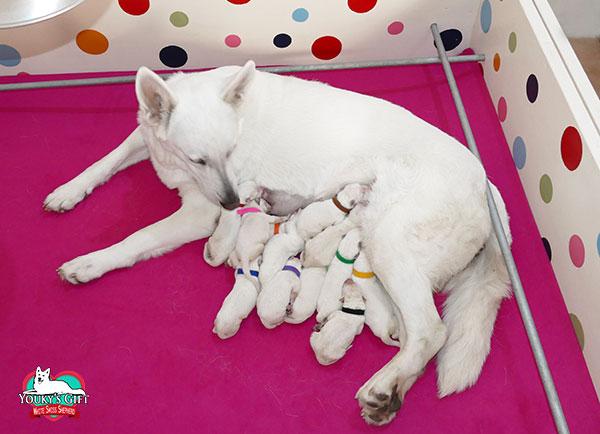 cucciolata G nati i cuccioli di Ikram e Bax