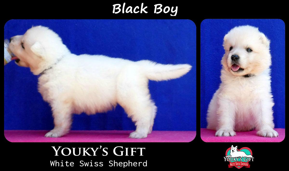 cucciolo pastore svizzero black boy