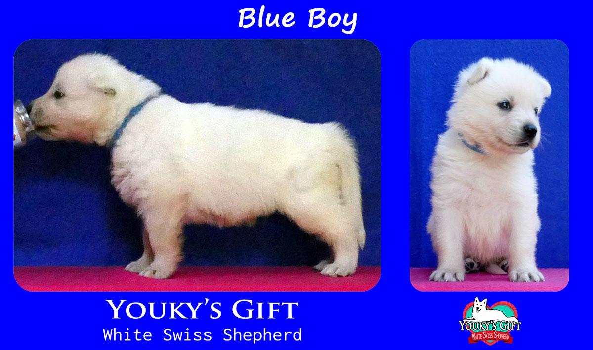 cucciolo pastore svizzero blue boy
