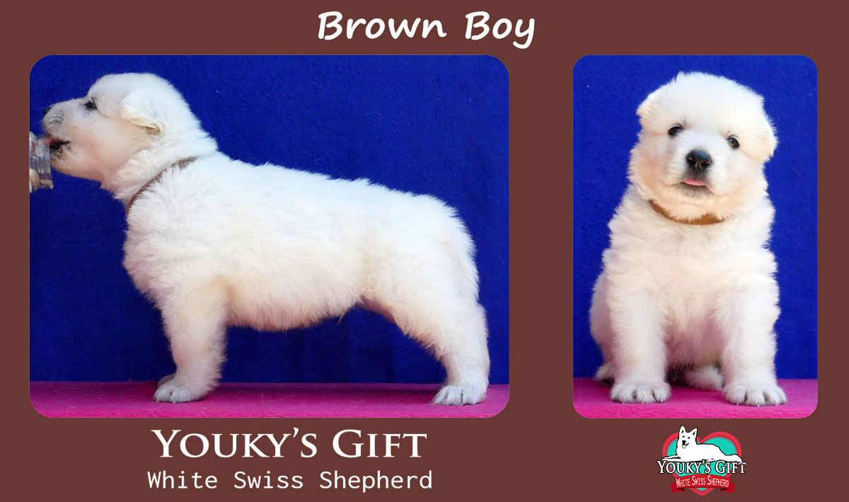 cucciolo pastore svizzero brown boy