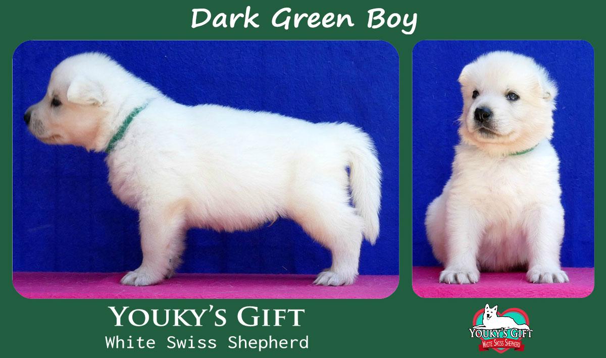 cucciolo pastore svizzero dark green boy