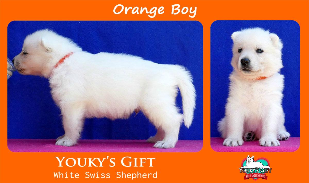 cucciolo pastore svizzero orange boy
