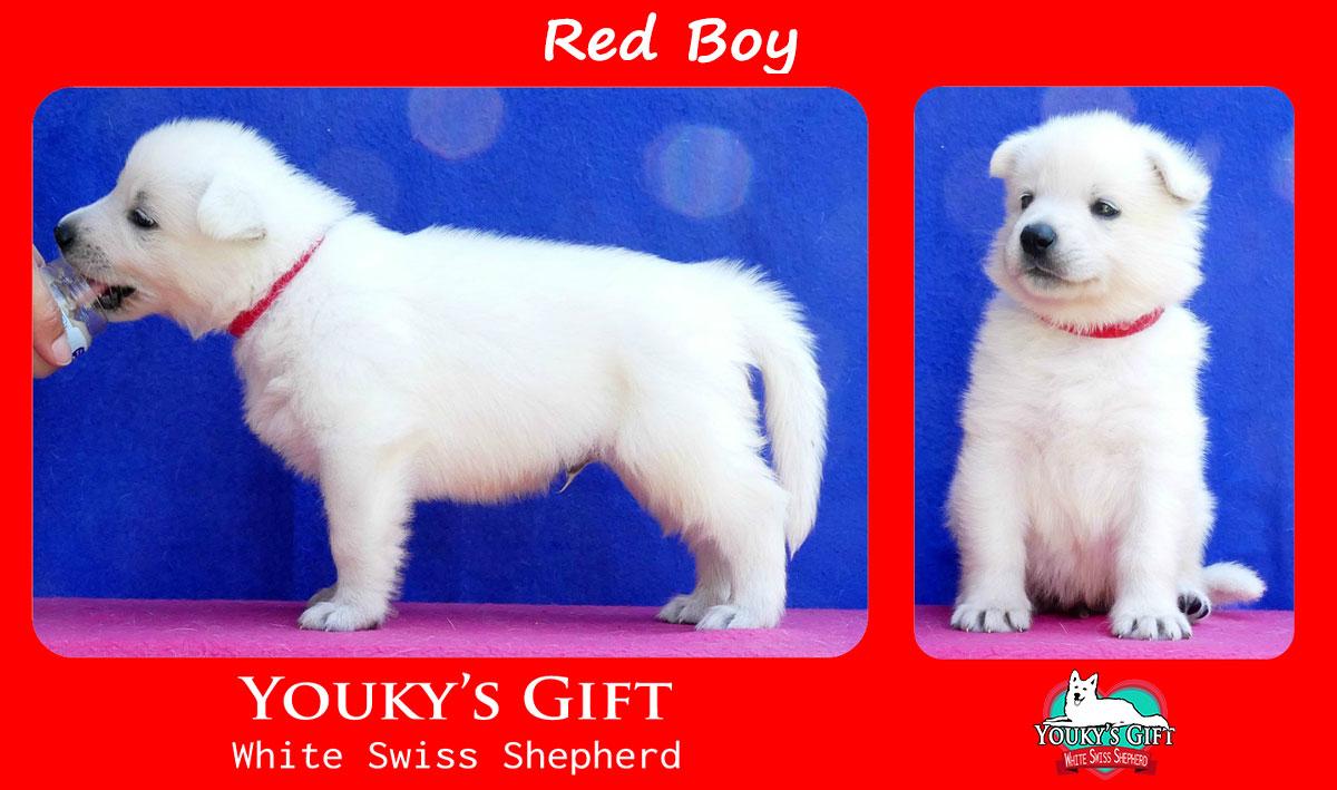 cucciolo pastore svizzero red boy