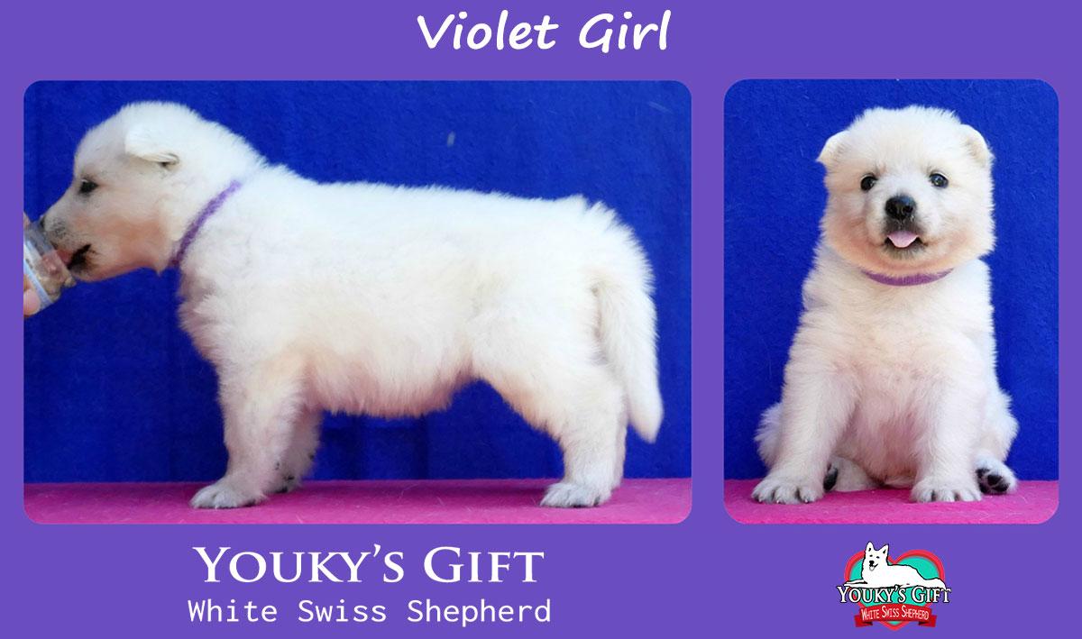 cucciolo pastore svizzero violet girl