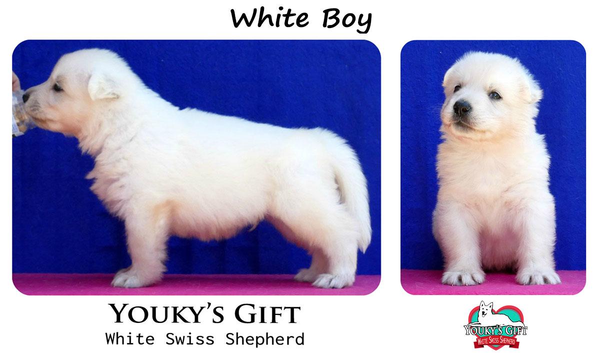 cucciolo pastore svizzero white boy