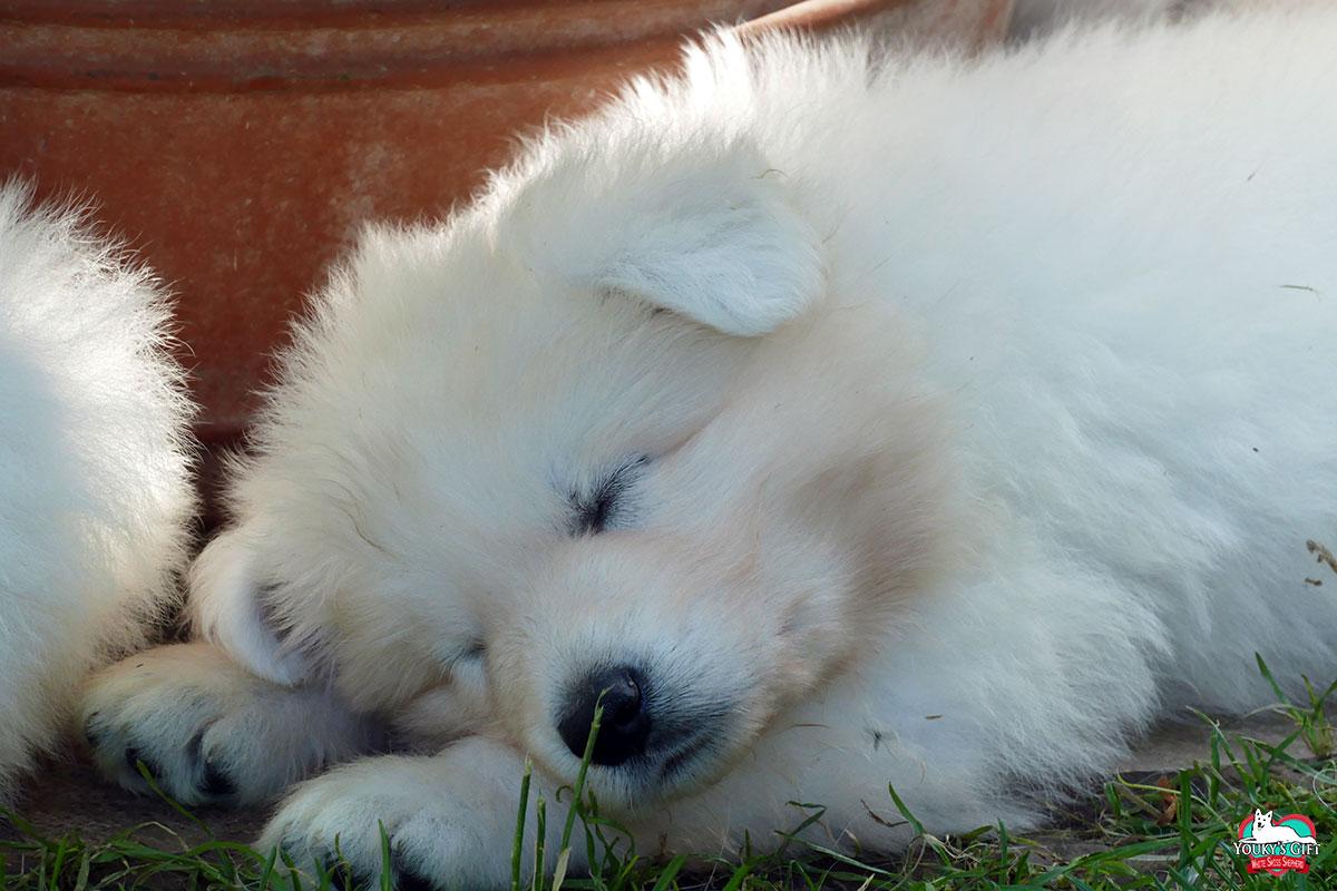 carattere cuccioli cucciolata G pastore svizzero 3