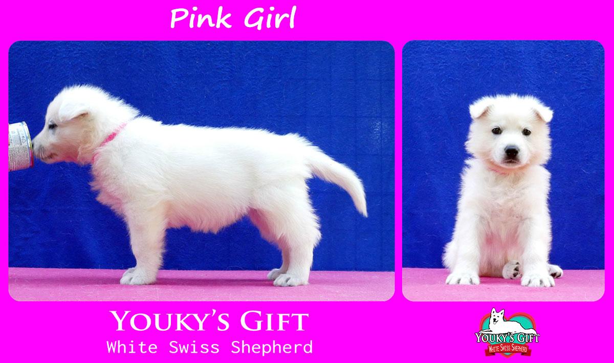 cuccioli pastore svizzero cucciolata H pink