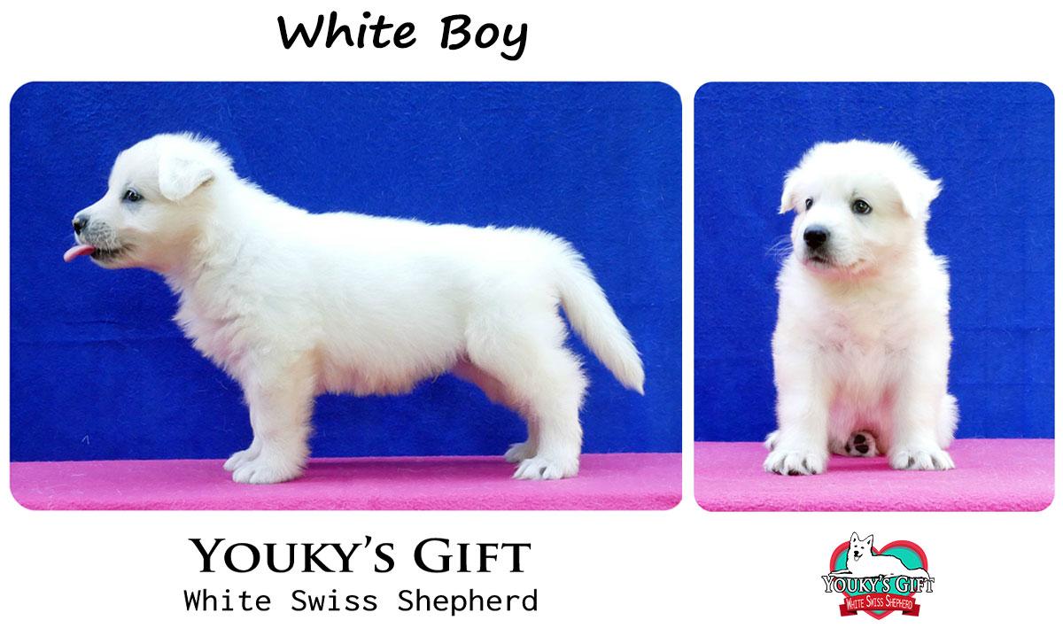 cuccioli pastore svizzero cucciolata H white