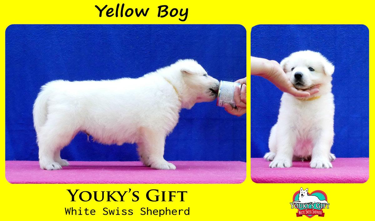 cuccioli pastore svizzero cucciolata H yellow